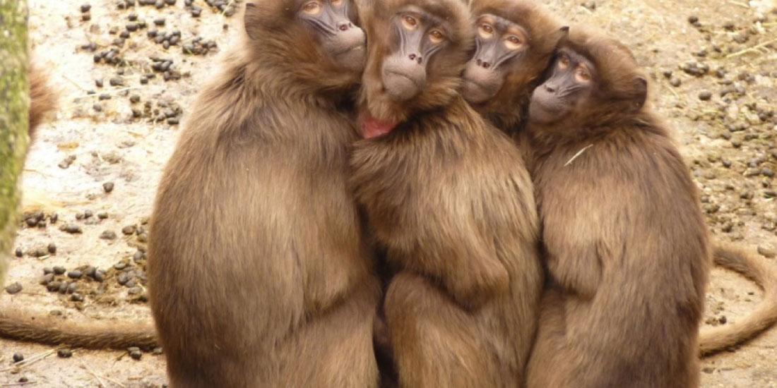 Μπαμπουίνοι έζησαν πάνω από έξι μήνες με καρδιά χοίρου, φέρνοντας πιο κοντά τις μεταμοσχεύσεις οργάνων χοίρων σε ανθρώπους